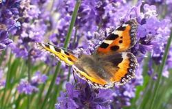 Tortoishell Butterfly on Buddleia