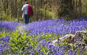 Fron Fawr bluebell walk