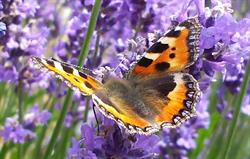 Tortoishell Butterfly on Buddleia