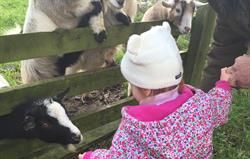 Loving goat feeding each day