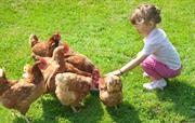 Budding Young Farmer feeds the chickens