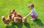 New young farmer feeds the chickens