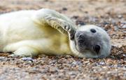 Seal pups at Horsey & Morston