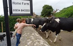 Home Farm Cows
