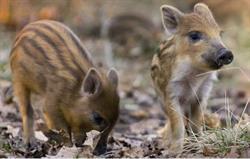 Wild boar piglets exploring forest