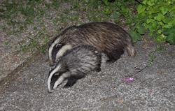 Visiting resident badgers