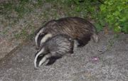 Badger Spotting