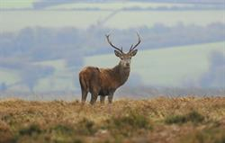 Red stag at Mornacott
