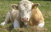 Harry, our bull