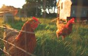 Chickens at Gladwins Farm