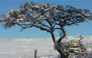 Hawthorn in the Snow
