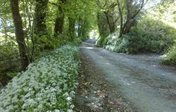 Fenteroon lane, Wild Garlic