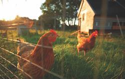Chickens at Gladwins Farm