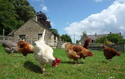 Hens at Park Farm