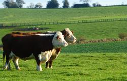 Hereford cows in the front field