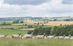 Kerry Hill sheep on our farm