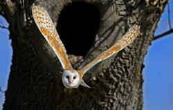 Barn Owl at Ingram