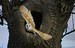 Barn Owl at Cheviot Holiday Cottage