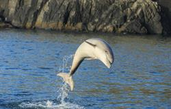 Dolphin watching in Cardigan Bay