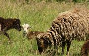 Soay Sheep in summer
