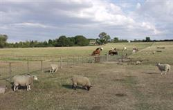 Sheep and cattle