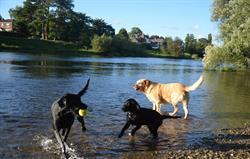 Dog walks along River Wye