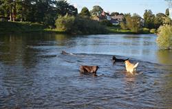 Labrador heaven at River Wye